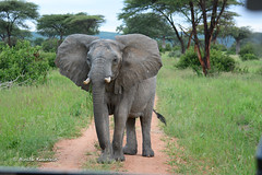 BK0_6319 (b kwankin) Tags: africa elephant ruahanationalpark tanzania
