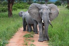 BK0_6290 (b kwankin) Tags: africa elephant ruahanationalpark tanzania