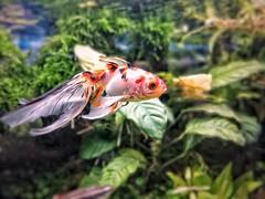 Goldfish (jorgeruizcentury) Tags: jorgeruizflickr jorgeruizcenturyyahooes donotusewithoutpermission nousarsinpermiso coldwaterfishtank goldfish huaweip20matelite acuario acuarioaguafría