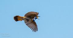 Blauwborst Bleutroath (gijs leusink1) Tags: nikonflickraward gijsleusink gijsleusinkfotografie nikonnaturephotography nikond500 d500 nikon genemuiden kamperzeedijk natuur natuurfotografie birds vogels