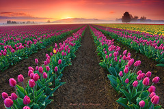 Sunrise in the RoozenGaarde Tulip Fields in Skagit Valley Washington (@randalljhodges) Tags: sunrise roozengaarde tulips tulipfields flowerfields skagitvalley washington laconner mtvernon northwest pacificnorthwest usa unitedstates travel scenic destination