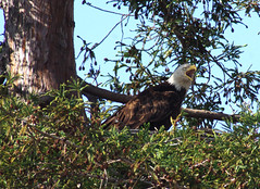 Mom BE telling Dad BE to go get some fresh food (Scott Severn) Tags: bald eagles