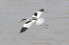 Avocet (badger2028) Tags: avocet flight flying