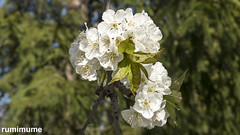 Spring Flowers (rumimume) Tags: rumimume 2019 niagara ontario canada photo canon 80d spring nature plant sun green flower petal bloom