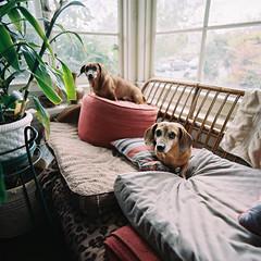 Buddy & Buster (poavsek) Tags: dogs dachshund film kodak hasselblad zeiss pets cf40mm portra400 distagon