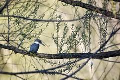 SO THAT'S WHERE I LEFT MY FISHHOOK (Lisa Plymell) Tags: lisaplymell nikon bird kingfisher sigma150600