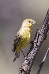 Lesser goldfinch (Tom Fenske Photography) Tags: bird finch goldfinch lesser wildlife nature spinuspsaltria arizona yellow