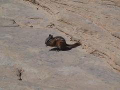 P1000541 (odetojoy24) Tags: zion utah angels landing hiking chipmunk