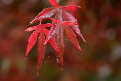 Red maple (Maureen Pierre) Tags: macro autumn colour xt2 fujifilm spiderweb red maple leaves christchurchbotanicgardens