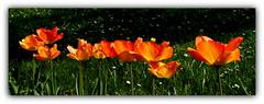 Tulipany. (andrzejskałuba) Tags: poland polska pieszyce dolnyśląsk silesia sudety europe natura nature natural natureshot natureworld nikoncoolpixb500 roślina rośliny plants kwiat kwiaty flower flora floral flowers tulip tulipan tulipany tulips beautiful color cień shadow spring wiosna yellow żółty red czerwony zieleń green garden ogród grass trawa macro