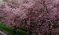 GERMANY, jap.  Kirschblüten en masse,  11380 (roba66) Tags: blumen blüten fleur flori flor flora flores bloem plants pflanzen colores color colour coleur roba66 nature natur naturalezza kirschblüten garten garden jardin giardini park baum bäume tree trees arbes arboles alberi