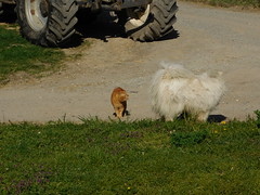 ....Benji's eyes are pinned on Otto..... (elisabeth.mcghee) Tags: katze hund kater cat dog weiss rot white red getigert haustiere tiere animals oberpfalz unterbibrach upperpalatinate kampf fight