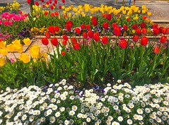 Flowers in the park - Stock image (DigiPub) Tags: 1143658919307207392 1143658919 istock 307207392 2019 april beauty beautyinnature blossom botany day decoration environment flower flowerbed freshness greencolor growth horizontal japan leaf morning multicolored nature nopeople ornamentalgarden outdoors photography plant publicpark red season springtime takenonmobiledevice townsquare tranquility tulip vibrantcolor vitality yellow yokohama