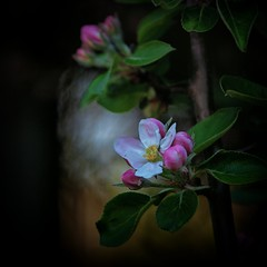 New Arrival ... Apple Blossom (Missy Jussy) Tags: dappledlight appletree appleblossom newarrival blossom bloom flower bud stem tree leaves sunlight fence bokeh 70200mm ef70200mmf4lusm ef70200mm canon70200mm canon 5dcanon canoneos5dmarkii outdoor outside springtime seasonal springflowers spring mygarden