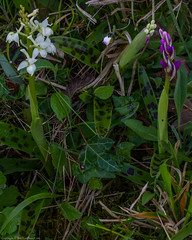 Early Purple Orchid (Orchis mascula var. alba) (BiteYourBum.Com Photography) Tags: dawnandjim dawnjim biteyourbum biteyourbumcom copyright©2019biteyourbumcom copyright©biteyourbumcom allrightsreserved uk unitedkingdom gb greatbritain england canoneos7d canonefs60mmf28macrousm apple imac5k lightroom6 ipadair appleipadair camranger lrenfuse focusstacking manfrotto055cxpro3tripod manfrotto804rc2pantilthead loweproprorunner350aw sussex eastsussex highwealdareaofoutstandingnaturalbeauty highwealdaonb highweald blackboys framfield early purple orchid orchis mascula varalba earlypurple orchismascula earlypurpleorchid orchismasculavaralba