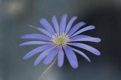 Anemone Blanda (Funchye) Tags: 105mm d750 nikon blomst flower anemoneblanda anemone