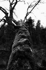 Tree (sebastienvillain) Tags: switzerland suisse fujifilm fuji xe2 xseries noiretblanc blackandwhite bw nb monochrome tree arbre nature xf18mm