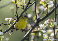 goldfinch (dbking2162) Tags: birds bird beautiful beauty nature nationalgeographic goldfinch yellow flowers trees wildlife explore indiana
