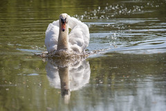 Mute Swan (Nick Landells) Tags: lakedistrict lakelandphotowalks guided photo photography fell hill walk walks walking mute swan mirehouse pond ponds swimming