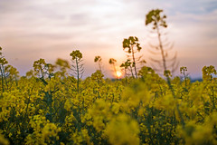 Rapeseed field / Sunset (~ Jessy S ~) Tags: nikon d750 nikkor 50mm 18 flora flower field champ rapeseed colza sunset soleil sun sky jaune yellow
