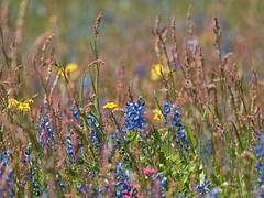P1010201 -1R (hyphy2008) Tags: brenham texas wildflowers bluebonnets