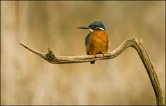 Kingfisher (Craig 2112) Tags: kingfisher alcedoatthis male lincolnshire bird wild