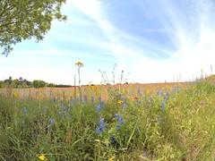 P1010193 -1R (hyphy2008) Tags: brenham texas wildflowers bluebonnets