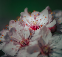 Summer is coming... (robert.lindholm87) Tags: canon tokina bokina macro closeup 12 r eosr canoneosr colors lightroom white pink green spring bloom flower sweden atx flowers