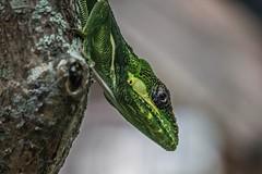 Here Eye Am (ACEZandEIGHTZ) Tags: cubanknightanole nikon d3200 nature lizard reptile green bokeh anolisequestris yellowmarkings portrait macro closeup headshot branch lichen coth alittlebeauty fantasticnature coth5 sunrays5