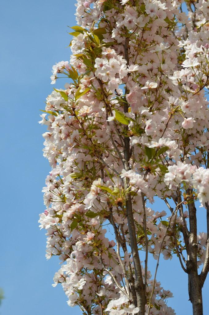 Kirschblüte Dating-Login