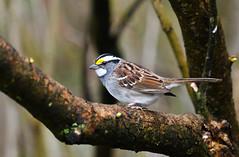 White-throated Sparrow (Zonotrichia albicollis) (Kremlken) Tags: sparrows pa birds birding birdwatching nikon500 spring zonotrichiaalbicollis