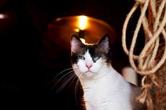 Kittney Houston (kirstiecat) Tags: cat kitty caturday feline nashville mewsickittycafe catcafe chat gato
