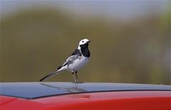 IMG_6530 (Sula Riedlinger) Tags: piedwagtailmotacillaalba bird birdwatching birds birdphotography elmleynaturereserve nature naturereserve northkentmarshes ukwildlife uknature ukbirding ukbirds wildlife wildlifephotography