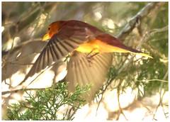 Summer tanager-Fort DeSoto Park-4-18-19-1 (hudsonvalleybirder) Tags: summertanagerfortdesoto florida birds fort desoto spring migration flight shot