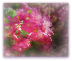 Flowering redcurrant (Ribes Sanguineum) (Jan 130) Tags: jan130 floweringredcurrant ribessanguineum digitalmanipulation texture topazstudio picmonkey home garden flower red pink spring spring2019 ngc npc