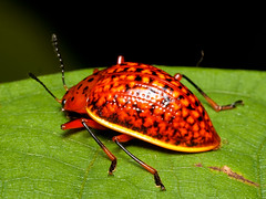 Pleasing Fungus Beetle, Erotylina maculiventris (Eerika Schulz) Tags: pleasing fungus beetle erotylina maculiventris käfer ecuador puyo eerika schulz