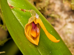 Pleurothallis sp. (Eerika Schulz) Tags: orchidee orchid ecuador puyo eerika schulz pleurothallis