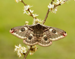 Emperor Moth Saturnia pavonia, female. (Iain Leach) Tags: wildlifephotography photograph image wildlife nature iainhleach wwwiainleachphotographycom canon canoncameras photography macro macrophotography closeup butterfly moth lepidoptera insect invertebrate emperormoth saturniapavonia