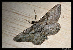 Boarmie rhomboïdale (Peribatodes rhomboidaria) (cquintin) Tags: arthropoda lepidoptera geometridae peribatodes rhomboidaria macroinsectes