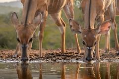 Nyala antelope (Wim Hoek) Tags: umgodiovernighthide nyala mammals zimangagamereserve afrika africa antilope nyalaantilope tragelaphusangasii zoogdieren uphongolonu kwazulunatal southafrica