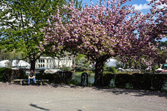 In fiore - Flowered. (sinetempore) Tags: torino turin corsocairoli ombre shadows fiorirosa pinkflowers primavera spring pinktree infiore flowered panchina bench uomo man street