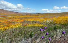 Desert Blooms (Slideshow Bruce) Tags: wildflowers poppy reserve antelope valley california