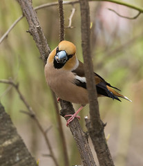 Дубонос - Hawfinch (SvetlanaJessy) Tags: природа птицы дубонос bird birds