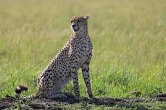 4J7A4186_Guépard (Puce55-Elisabeth,) Tags: guépard animal faune afrique kenya masaï wildlife nature