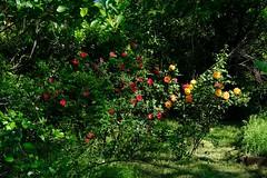 Abandoned Rose Garden (Gene Ellison) Tags: plants roses garden overgrown abandoned yard vegetation fujifilm
