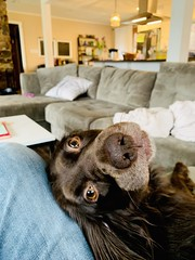 Hanging on every word (Rick Takagi) Tags: iphone pets dogs spaniel boykin