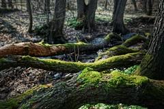 Im Oberwald am Mühlbach (nordelch61) Tags: deutschland hessen heimat darmstadt mühlbach baum wald bach wurzeln äste stamm zweige rinde märchenhaft forest fairytale enchanted tree roots wasser wooden