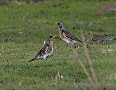 Fieldfare 1 20 Apr 2019 (Tim Harris1) Tags: fieldfare bird helhoughton norfolk nikond7100 nikkor80400afs