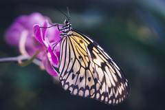 Butterfly (michel1276) Tags: butterfly schmetterling schmetterlingshaus sonya7iii sonyfe90mmmacro mariposa farfalle makro macro