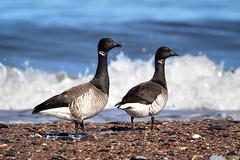 Couple de Bernache cravant (pascalroussy) Tags: oiseau bird bernachecravant
